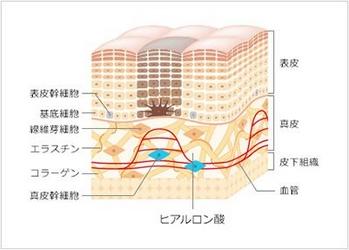 資生堂・ザ・コラーゲン・皮膚の構造