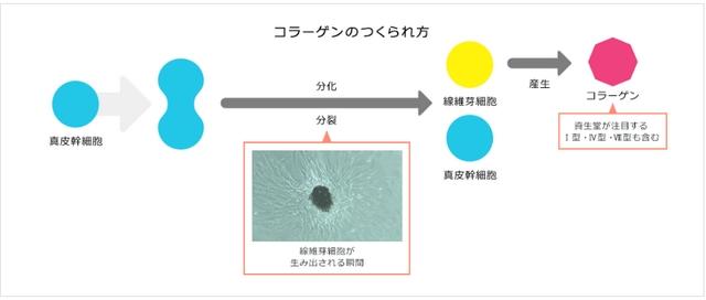 資生堂・ザ・コラーゲン・線維芽細胞をつくる細胞