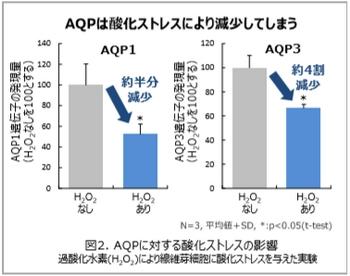 POLA・酸化ストレスによるアクアポリンの減少